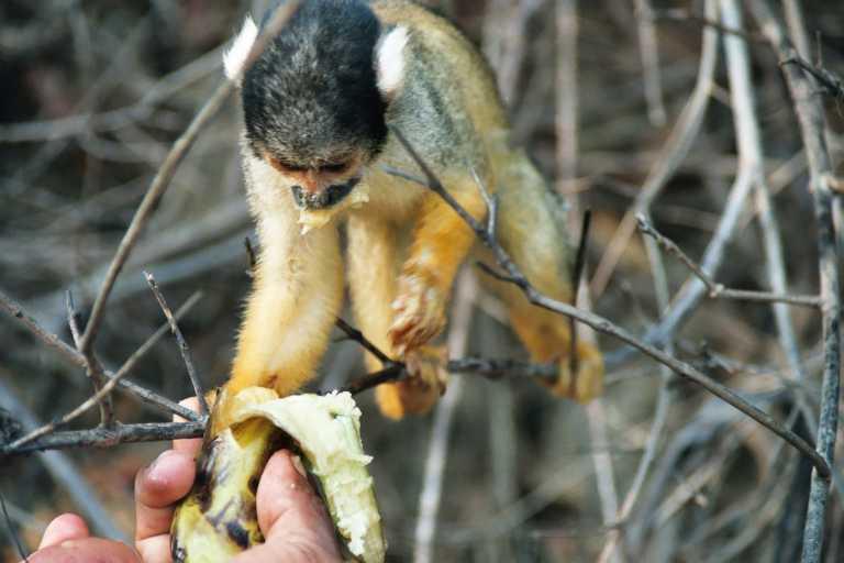 غابات الأمازون 39%20Petit%20singe%20amazonie%20Bolivie